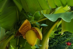 Banana-drvo