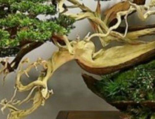 Uvod u bonsai