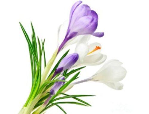 Krokus – cvet koji miriše na proleće
