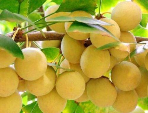 Ginko – od semena do sadnice