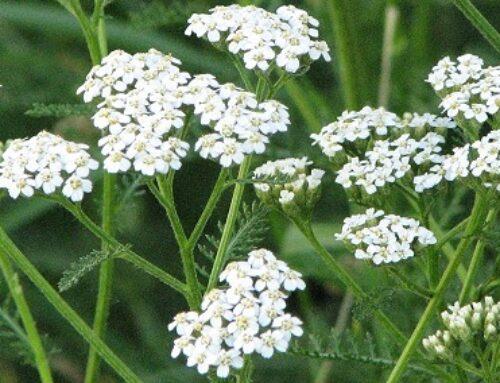 Lekovita hajdučka trava