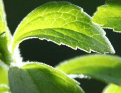 Gajenje stevije može biti unosan posao