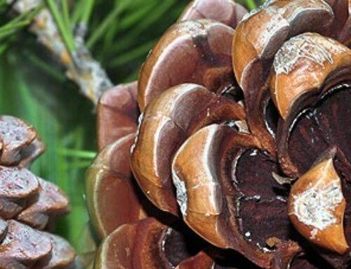 Seme pinjola začin i afrodizijak