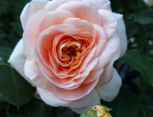 Crne pege na listu ruže i zelene vaši