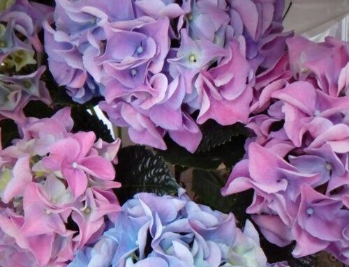Hydrangea/Hortenzija