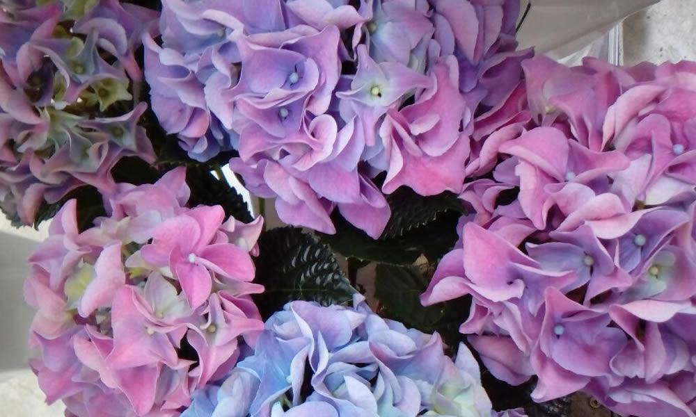 Hydrangea Hortenzija